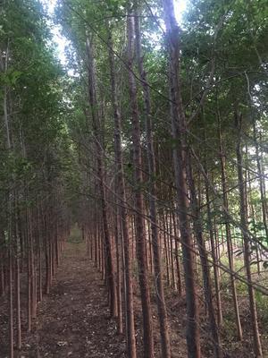 河北省沧州市泊头市小叶榆树