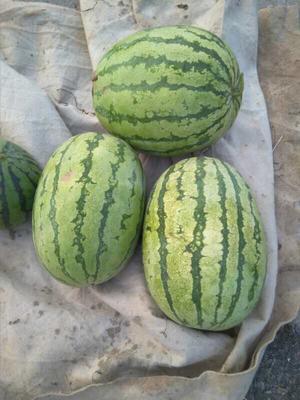 山东省青岛市胶州市京欣西瓜 有籽 1茬 8成熟 8斤打底