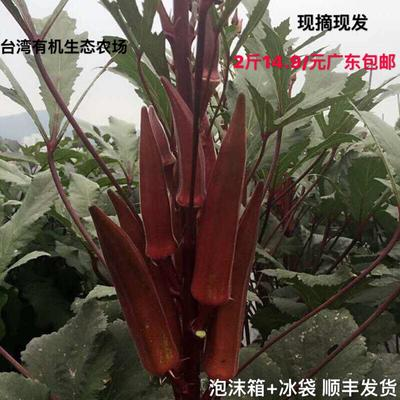 广东省珠海市香洲区红秋葵 3 - 6cm