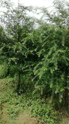 贵州省毕节市七星关区葛种种苗