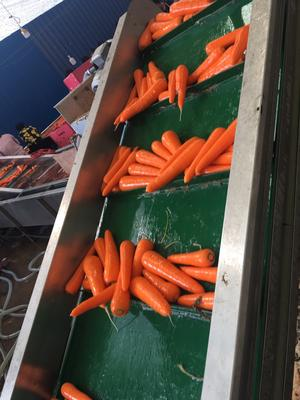 陕西省榆林市定边县三红胡萝卜 10~15cm 3两以上 4~5cm
