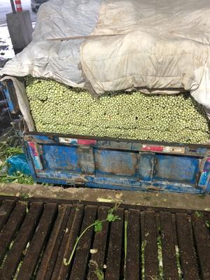 甘肃省定西市安定区毛芹 55~60cm 露天种植 0.5斤以下