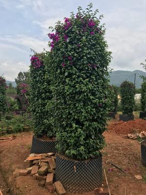 云南省昆明市宜良县紫花三角梅 2.5米~3米