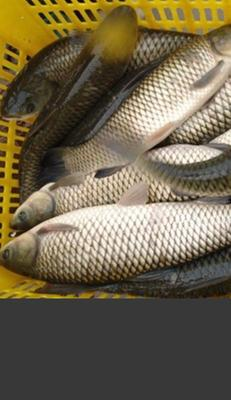 广东省江门市恩平市池塘草鱼 人工养殖 1-2.5龙8国际官网官方网站