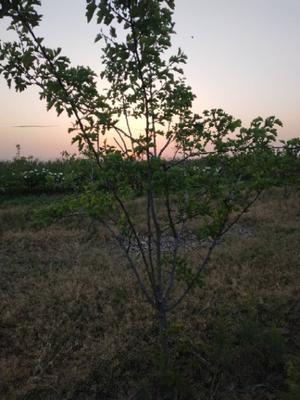 山西省运城市绛县大五棱山楂树苗