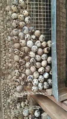 广东省惠州市博罗县土鹌鹑蛋 食用 箱装