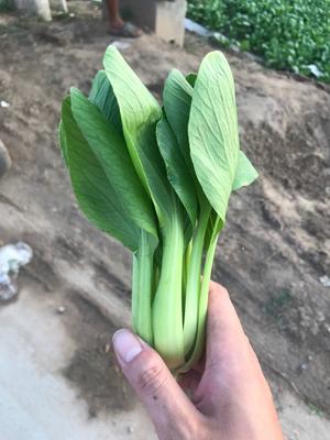 山东省菏泽市曹县北方小油菜 1两以下