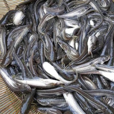 四川省南充市营山县大口鲶鱼 人工养殖 0.5公斤以下