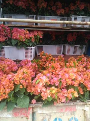 云南省昆明市宜良县橙红三角梅 0.2米以下