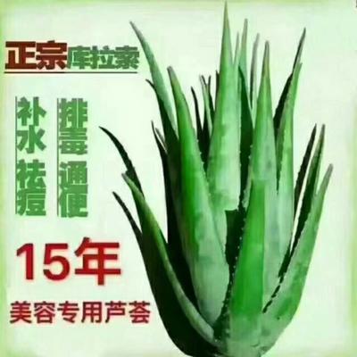 河南省周口市川汇区库拉索芦荟 20cm以上