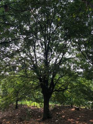安徽省马鞍山市含山县丛生朴树