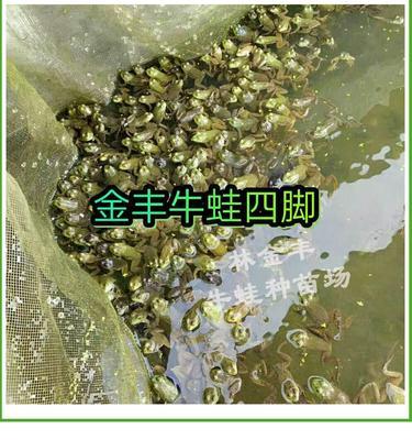 广东省汕头市澄海区牛蛙苗