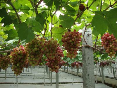 浙江省绍兴市诸暨市美人指葡萄 5%以下 1次果 1-1.5斤