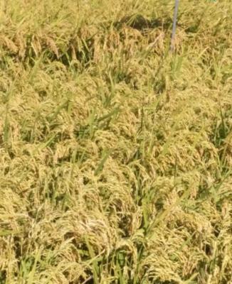 黑龙江省佳木斯市同江市粳稻谷 晚稻