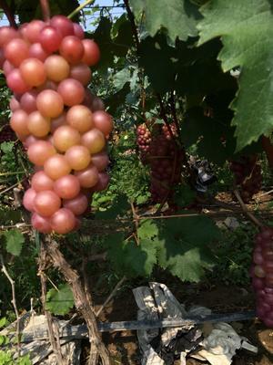 河南省漯河市召陵区巨峰葡萄 5%以下 1次果 1.5- 2斤