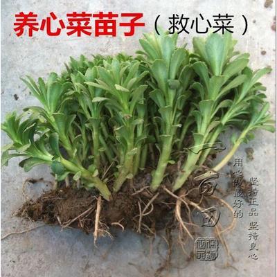 河北省沧州市南皮县高钙菜种子