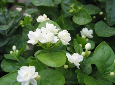 这是一张关于茉莉花种子的产品图片