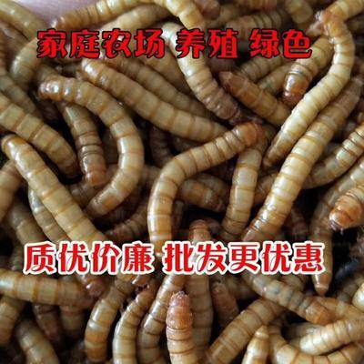 河南省洛阳市偃师市黄粉虫