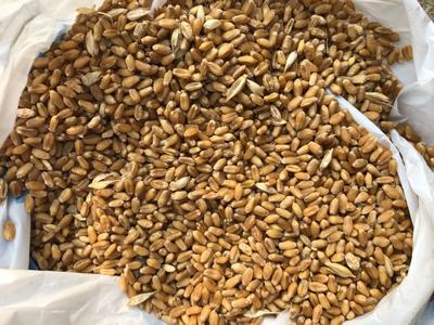 安徽省蚌埠市五河县混合小麦