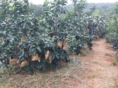 这是一张关于蜜柚 2斤以上的产品图片
