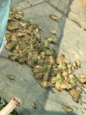 安徽省六安市金安区青蛙苗