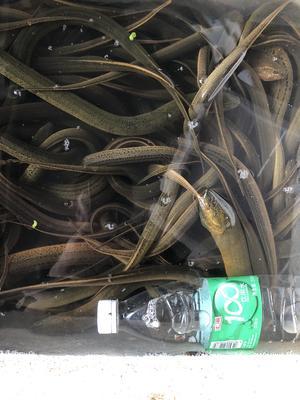 这是一张关于野生黄鳝 野生的产品图片