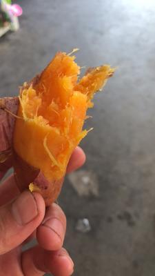 这是一张关于烟薯25 紫皮 3两以上的产品图片