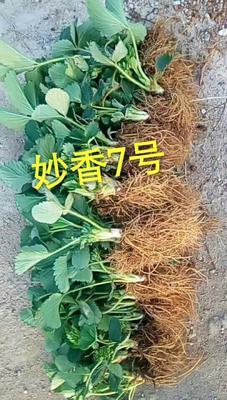 这是一张关于妙香草莓苗 地栽苗 20~30公分的产品图片