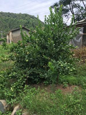 广东省梅州市丰顺县香水柠檬 2.7 - 3.2两