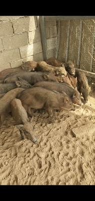 这是一张关于特种野猪 20-30斤 统货的产品图片