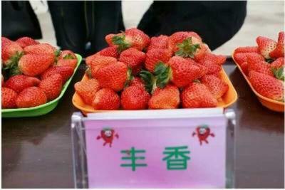 这是一张关于丰香草莓苗 地栽苗 20~30公分的产品图片