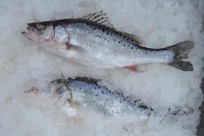 广东省珠海市斗门区淡水鲈鱼 人工养殖 1-1.5公斤