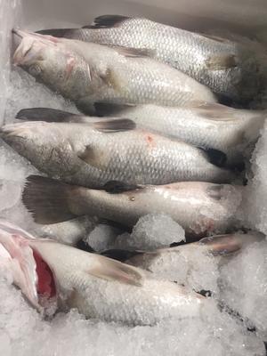 广东省珠海市斗门区盲曹鱼 人工养殖 1-1.5公斤