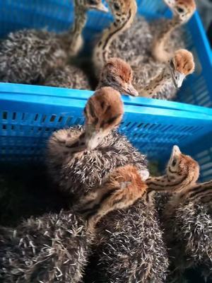 这是一张关于虎皮鹦鹉的产品图片