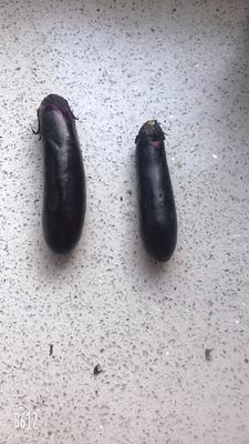 辽宁省锦州市义县黑长茄 5两以上