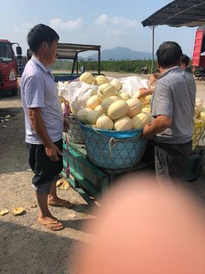 浙江省台州市三门县东方蜜1号 1.5斤以上