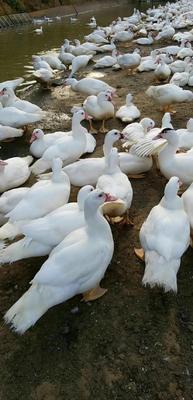 这是一张关于番鸭 公 半圈养半散养 5-6斤的产品图片