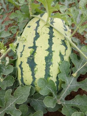 内蒙古自治区赤峰市翁牛特旗京欣西瓜 有籽 1茬 9成熟 10斤打底