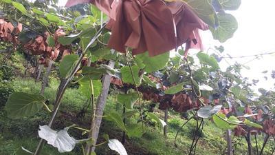 这是一张关于红心猕猴桃 60~100克的产品图片
