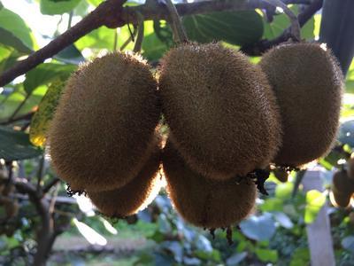 这是一张关于徐香猕猴桃 90~100克的产品图片