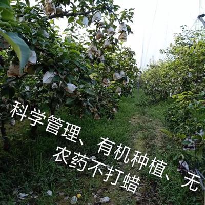这是一张关于圆黄梨 100-150g 95mm以上的产品图片