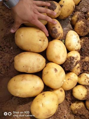 这是一张关于希森土豆 3两以上的产品图片