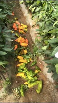 这是一张关于尖椒 2~5cm 彩色 微辣的产品图片