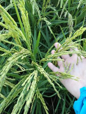 黑龙江省哈尔滨市五常市稻花香二号大米 绿色食品 晚稻 一等品