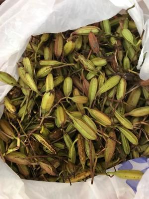 这是一张关于白芨种子的产品图片