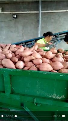 河南省开封市通许县龙九红薯 3两以上