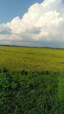 黑龙江省哈尔滨市五常市长粒香大米 非有机大米 中稻 一等品