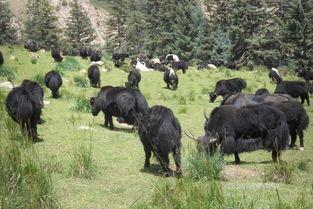 四川省阿坝藏族羌族自治州马尔康县牦牛 400-600斤 统货