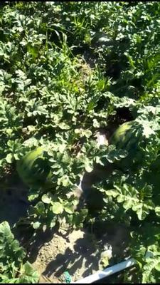 吉林省长春市二道区林丰666 有籽 2茬 9成熟 10斤打底