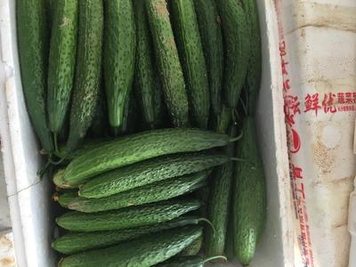 湖南省永州市零陵区嫁接黄瓜 18~22cm 鲜花带刺